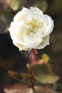 kvit rose